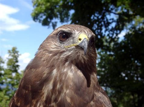 dec announces falconry wildlife rehabilitator and
