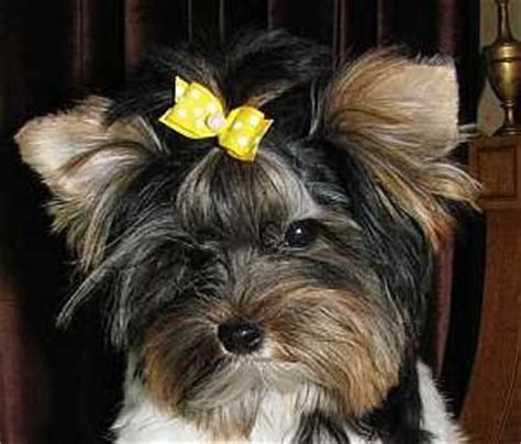 how to make yorkie hair bows how to make bows