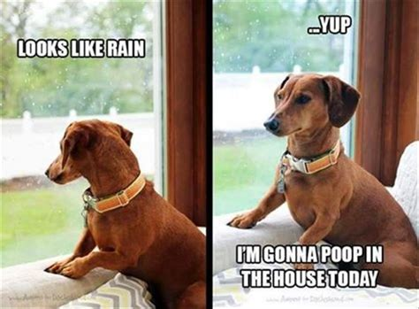 Dachshund Meme - funny dachshund jokes dog breeds picture