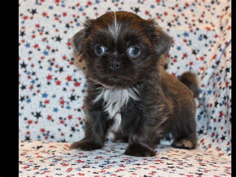 solid blue shih tzu design shih tzu shih tzu puppies for sale