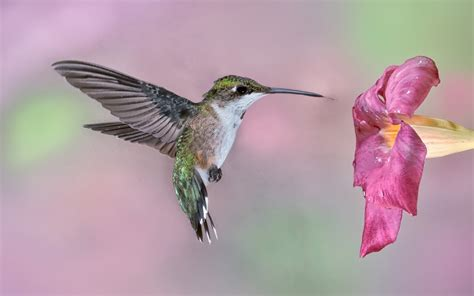 young male ruby throated hummingbird hummingbirds