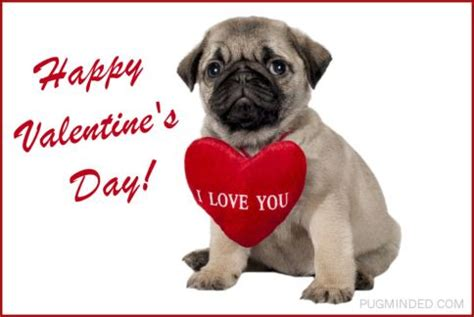 pug valentines card valentine s day pugminded