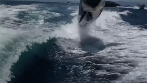 Watch A Bunch Of Killer Whales Chase A Boat, Give A Couple