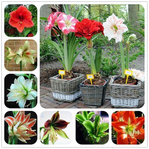hippeastrum bulbs bonsai amaryllis barbados lily diy