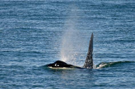 Whale L by June 9 2016 Humpback Whale L Pod Orcas Orca Spirit Adventures