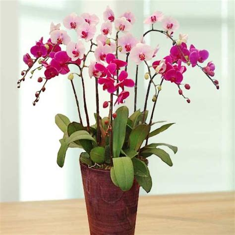 new year flower colors live phalaenopsis orchids potted plant
