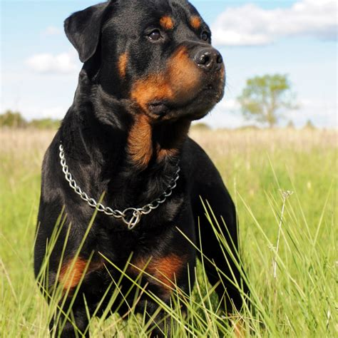 rottweiler puppies montreal 3d wallpaper pic