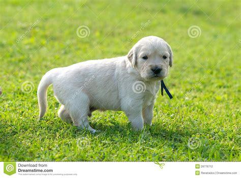 green labrador puppy one retriever labrador retriever puppy on green grass background