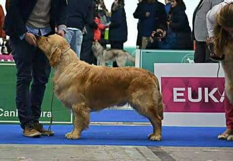 comprar golden retriever comprar golden retriever asturias merry photo