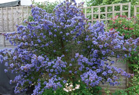 shrub with like flowers pollinators brilliant blue ceanothus blooms for bees