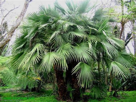 Plantfiles Pictures European Fan Palm Mediterranean Fan
