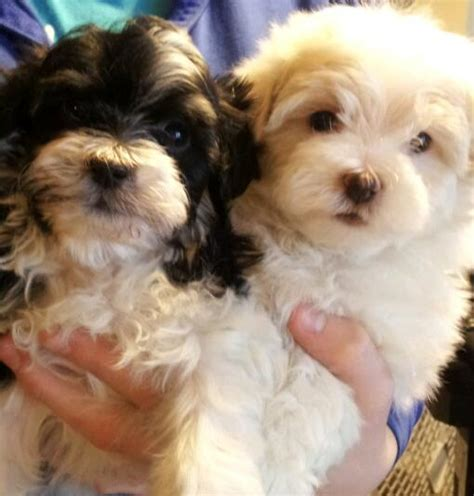havanese mi havanese breeders in michigan dogs breed sierramichelsslettvet