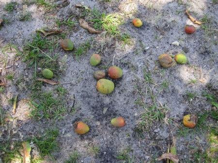 lots of gnats in backyard mangos draw gnats