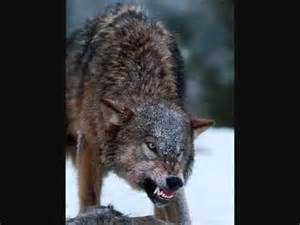 grow l wolf howl and growl