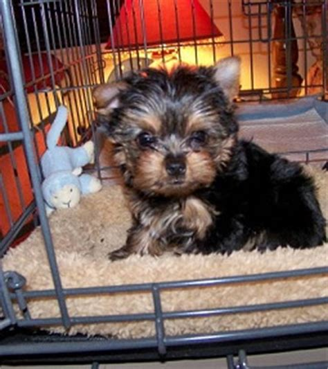 2 month yorkie puppy apartment reviews modern puppies