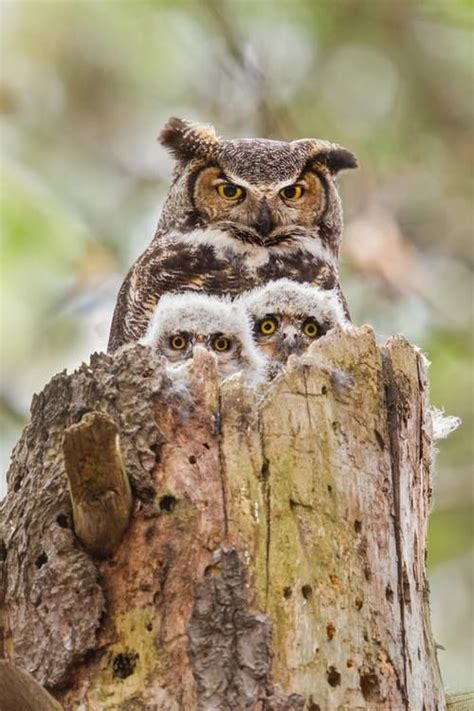 owl family owls pinterest