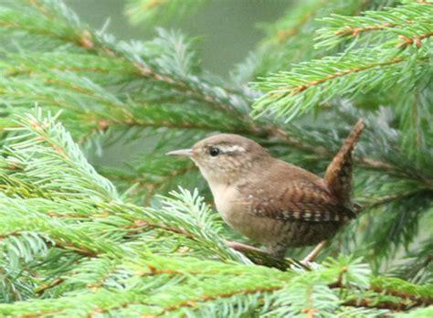 ptaki mniejsze  wieksiejsze strzyzyk