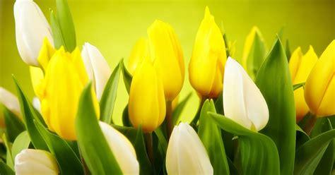 witte achtergrond met 3d pingun met zonnebril en een ijsje lente achtergrond met tulpen mooie leuke achtergronden