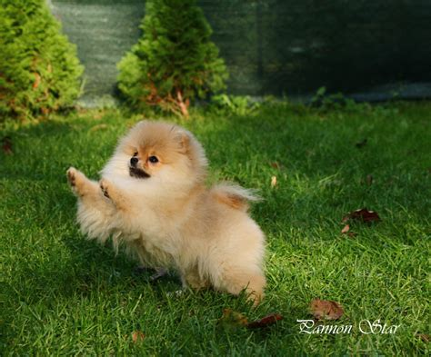 pomeranian puppies for sale tn halls kennel pomeranian dogs breeds picture