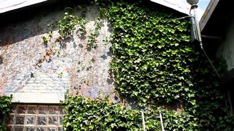 Efeu Am Haus Entfernen by Efeu Einfach Der Hauswand Entfernt Newwonder555