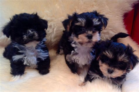 bichon frise yorkie puppies terrier x bichon frise yorkie chon carluke lanarkshire pets4homes