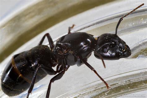 black ant big black ant
