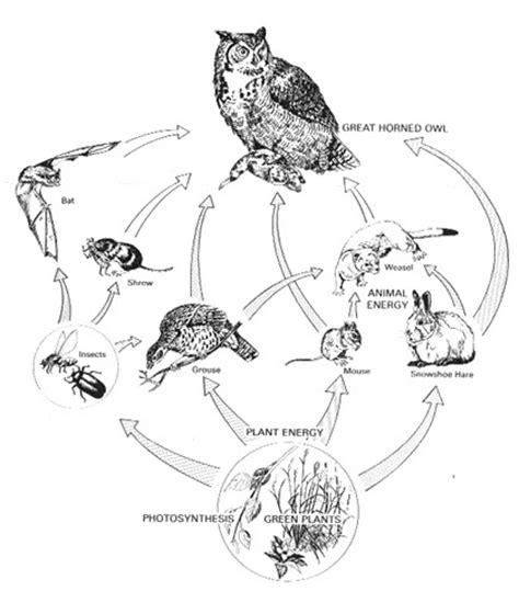 barn owl food web diagram eastern screech owl facts habitat diet cycle baby