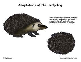 How Do Jaguars Adapt To Their Environment Adaptations Of The Hedgehog