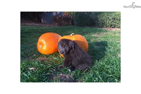 newfoundland puppies nc goose newfoundland puppy for sale near greensboro carolina 2ec5dc96 f011