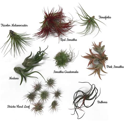 remarkable tillandsia varieties photos best inspiration home design eumolp us