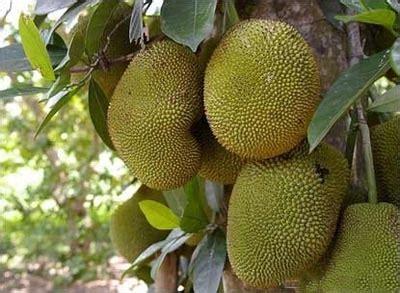 imagenes de jackfruit las 10 frutas ex 243 ticas y m 225 s bellas del mundo rinc 243 n