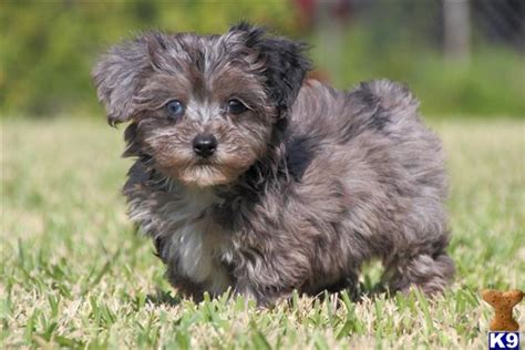 blue yorkies for sale yorkie poo dogs and puppies for sale yorkie poo breeders rachael edwards