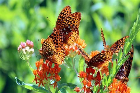 imagenes de varias mariposas varias mariposas en unas flores naranjas 58326
