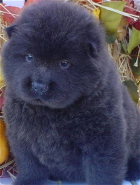 black chow chow puppy chow chow dogs quotes quotesgram