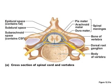 spinal cord transverse section spinal cord cross section slide with meninges google