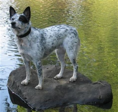 queensland heeler puppies craigslist the world s catalog of ideas