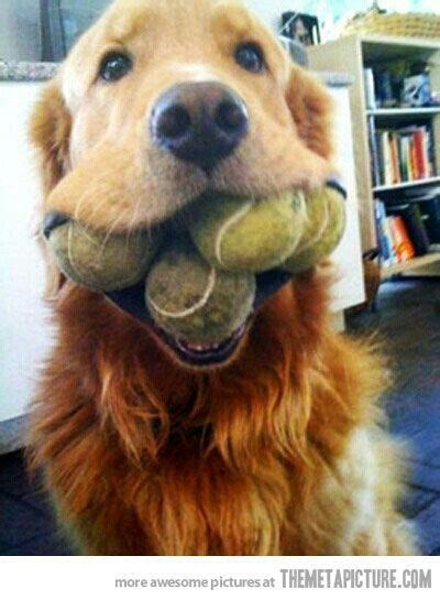 best toys for golden retriever puppies 14 best images about best durable chew toys for large dogs on toys puppy
