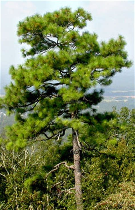 top traditional pine tree images longleaf pine tree seeds pinus palustris popular