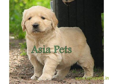 price of golden retriever puppy price of golden retriever puppies in pune photo