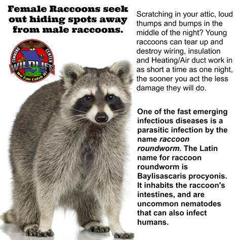 how to get rid of a raccoon in your backyard how to get rid of a raccoon in your backyard 28 images