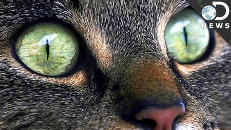 Softlens Cats Eye Soflens Cats Eye why does your cat strange