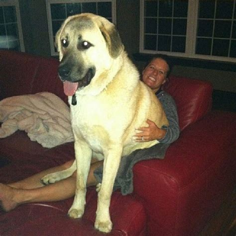 huge dog on couch 30 funny dogs who don t believe in personal space because