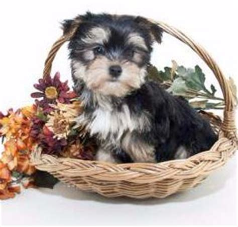 mini yorkie info teacup miniature and size yorkies terrier information
