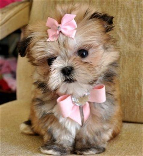 teacup maltese shih tzu best 20 shih tzu mix ideas on shih tzu poodle shih tzu poodle mix and