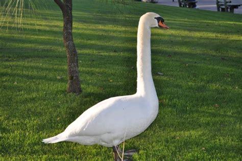 imagenes de animales autotrofos imagen de ave aves animal animales cisne blanco vista de