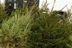 south somerset news recycling natural christmas trees