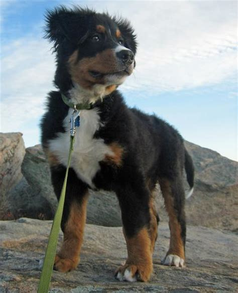 bernese mountain poodle mix bernese mountain info temperament puppies pictures