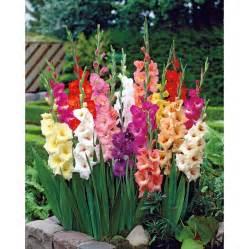 gladiolus flowers gladiolus gladioli s greenhouses