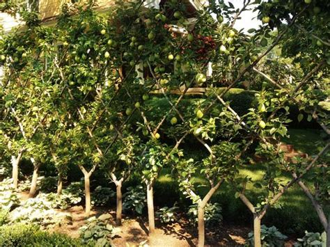 pear espalier trees creating a fence garden pinterest