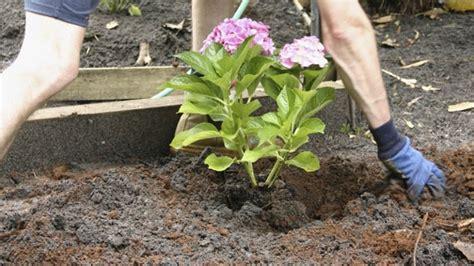 sträucher für den garten hortensien pflanzen hortensien pflanzen infos